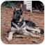 Photo 2 - German Shepherd Dog Dog for adoption in Wayland, Massachusetts - Hayden