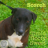 Labrador Retriever Mix Dog for adoption in Washburn, Missouri - Scorch