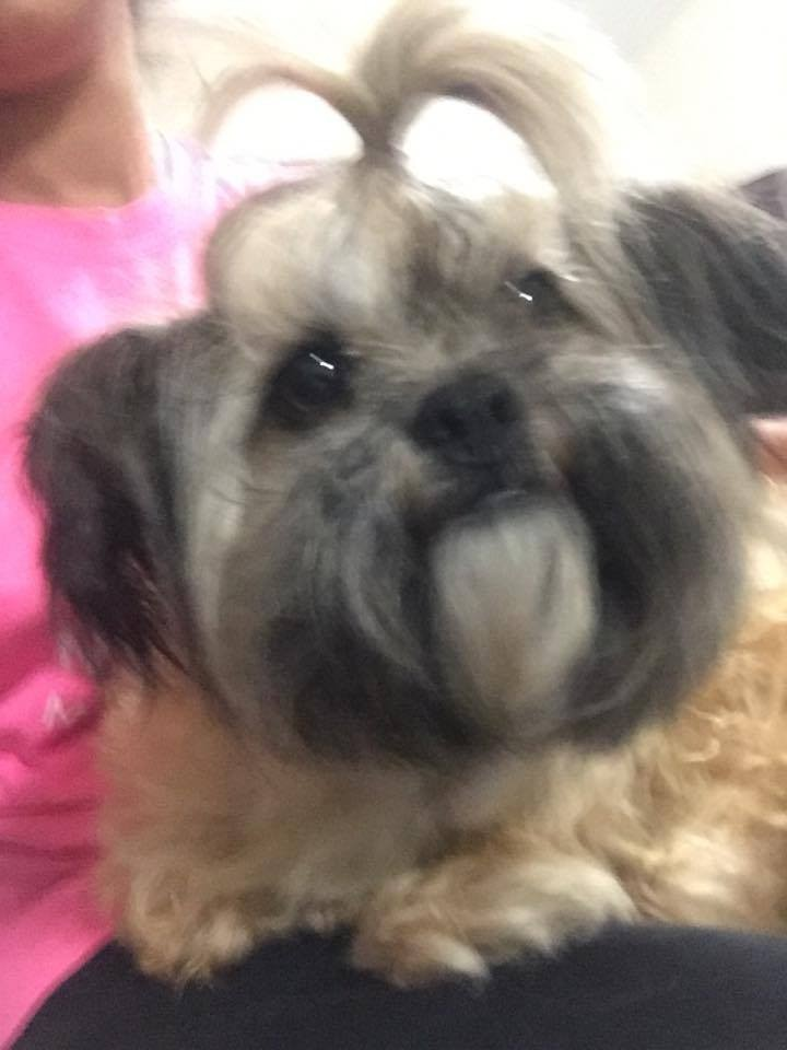 Knoxville Tn Shih Tzu Meet Kiki A Pet For Adoption
