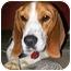 Photo 2 - Beagle Dog for adoption in Latrobe, Pennsylvania - Duke