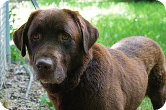 Labrador Retriever Dog for adoption in Gridley, California - Nick