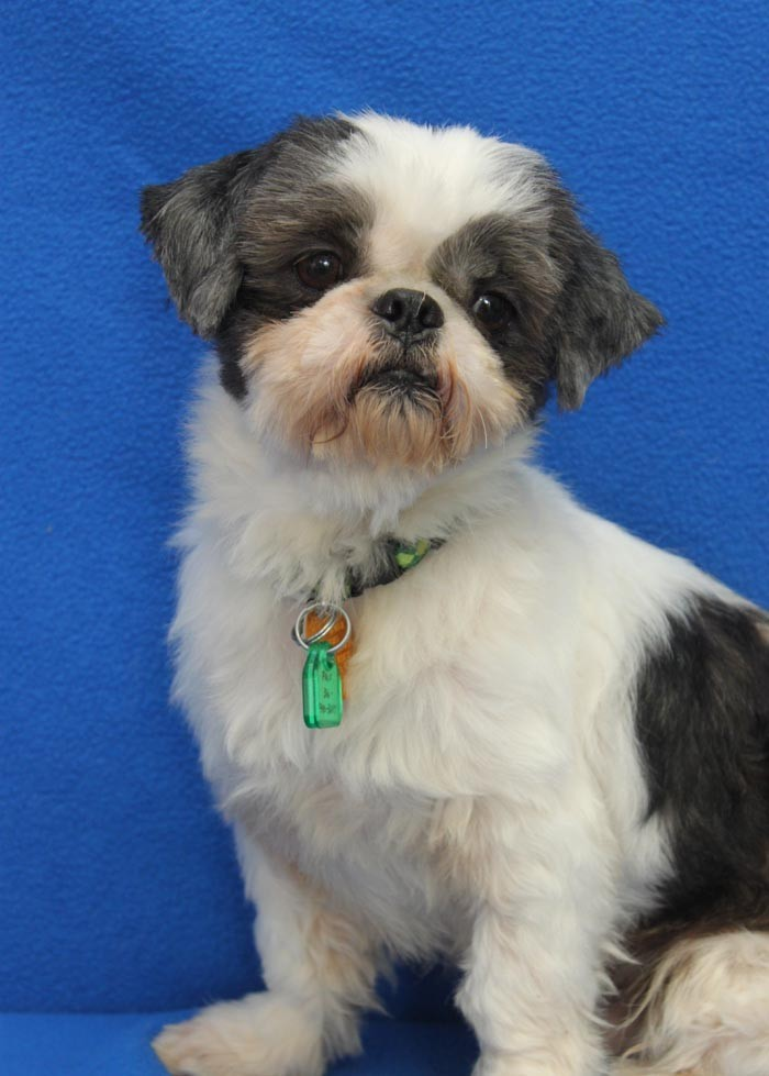 Wichita Ks Shih Tzu Meet Kato A Pet For Adoption