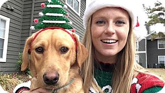 Labrador Retriever Mix Dog for adoption in Nyack, New York - Remy