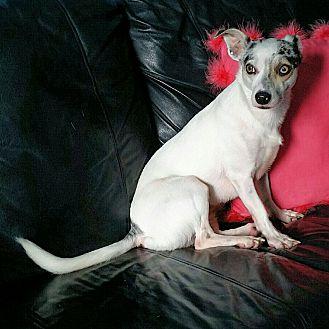 Adopt A Pet :: Amazingly Beautiful..  - Ft Myers Beach, FL