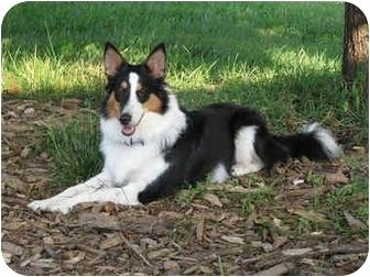 Bellevue Ne Border Collie Meet Scarlett A Pet For Adoption