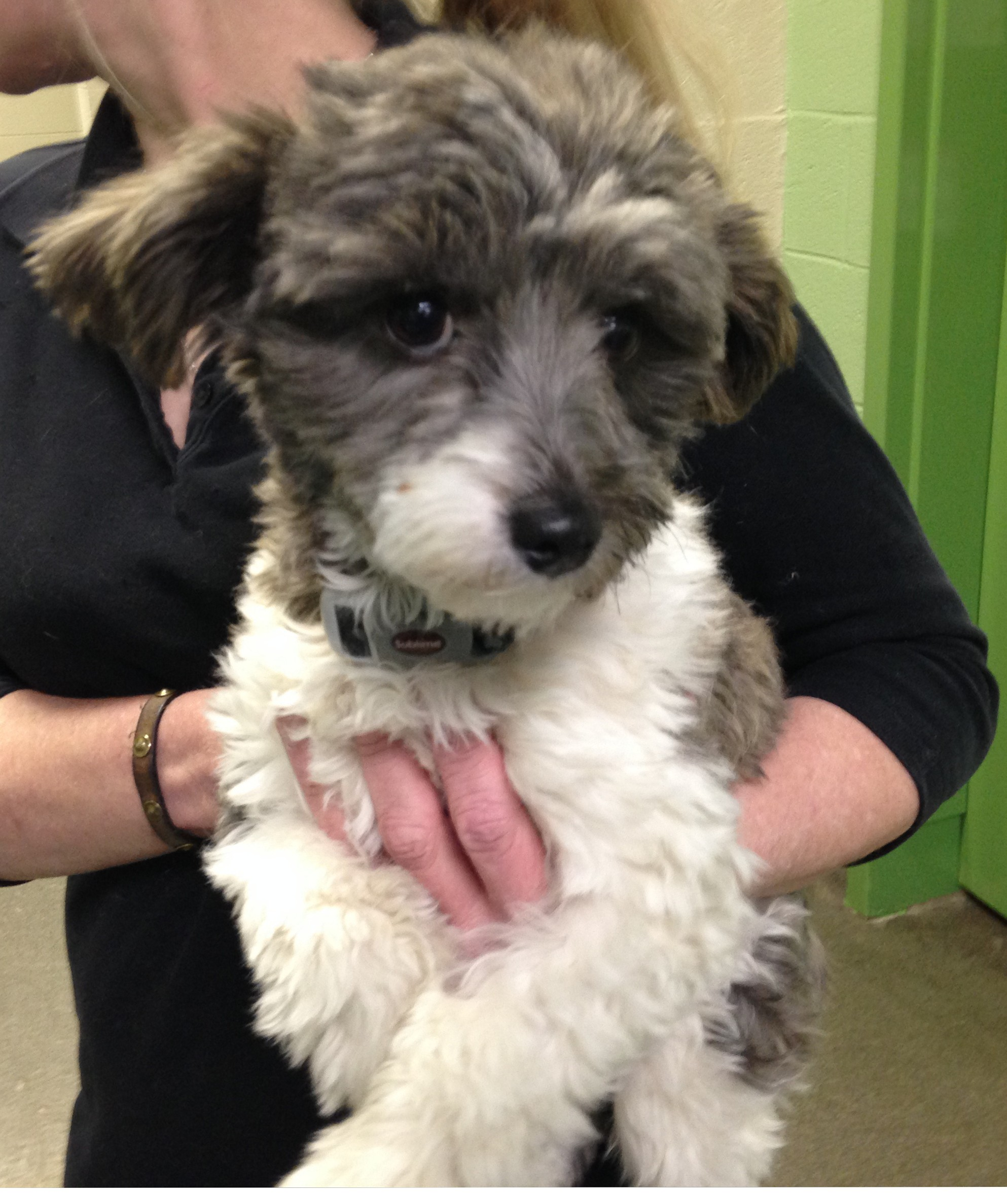 Nashville, TN - Havanese  Meet Margaret a Pet for Adoption