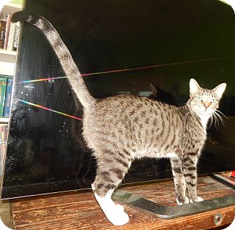 Domestic Shorthair Cat for adoption in Plano, Texas - MOONDOGGIE - TALL LANKY LOVER!