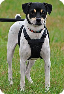 Rat Terrier Mix Dog for adoption in Red Oak, Iowa - Jesse