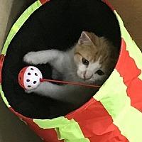 Adopt A Pet :: Feline Willie (2) - Remus, MI