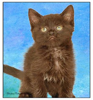 Domestic Shorthair Kitten for adoption in Newland, North Carolina - Wednesday