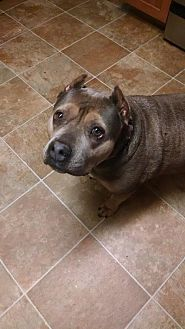 American Pit Bull Terrier Dog for adoption in Crestline, California - Pixie