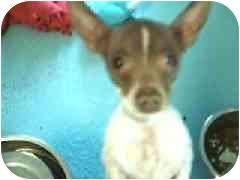 Chihuahua Dog for adoption in Hawthorne, California - Julius
