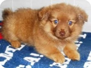 Pomeranian Mix Puppy for adoption in Bartonsville, Pennsylvania - TORI