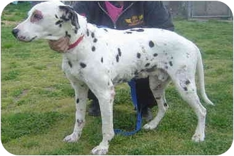 Dalmatian Dog for adoption in Freeport, New York - Dylan The Dalmation