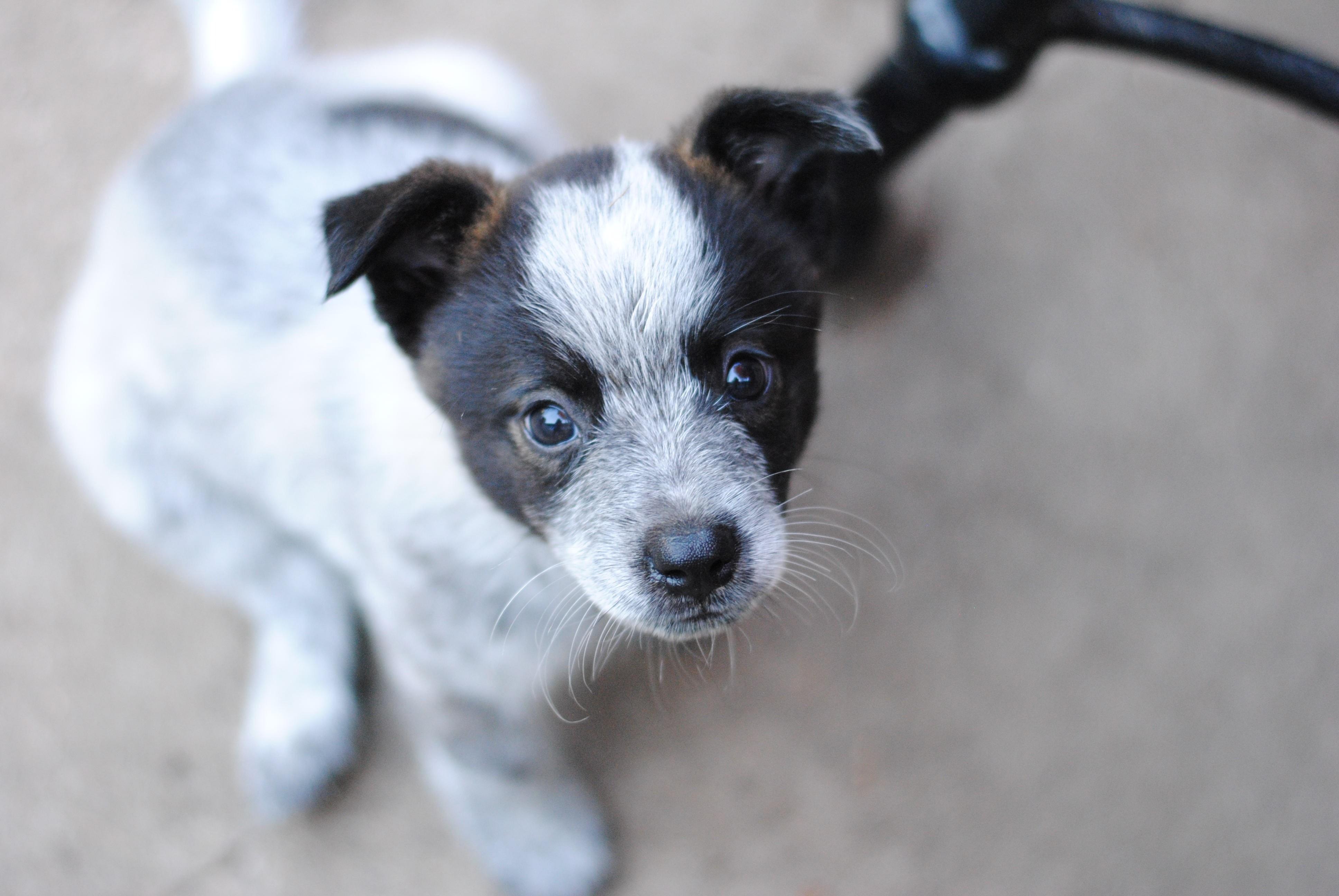 Fort Atkinson Wi Blue Heeler Meet Corbin A Pet For Adoption
