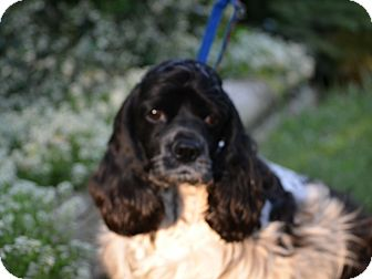 Mentor Oh Cocker Spaniel Meet Katie 3yr Adopted A Pet For Adoption