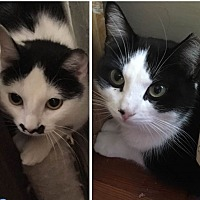 Adopt A Pet :: Ms Marple - Long Beach, NY