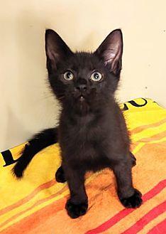 Adopt A Pet :: SHADOW  - Northwood, NH