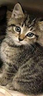 Adopt A Pet :: Evan tabby  - Virginia Beach, VA
