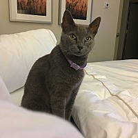 Adopt A Pet :: Sab - Sunny Isles Beach, FL
