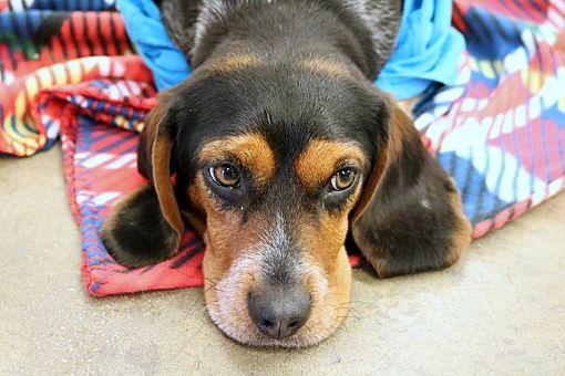 Champaign, IL - Beagle  Meet Gracie a Pet for Adoption