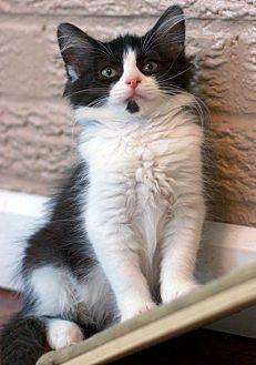 Adopt A Pet :: Fractus  - Troy, MI