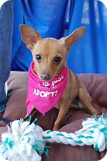 Chihuahua/Dachshund Mix Puppy for adoption in Dallas, Texas - Miss Penny