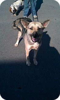 German Shepherd Dog Dog for adoption in Conway, Arkansas - CK