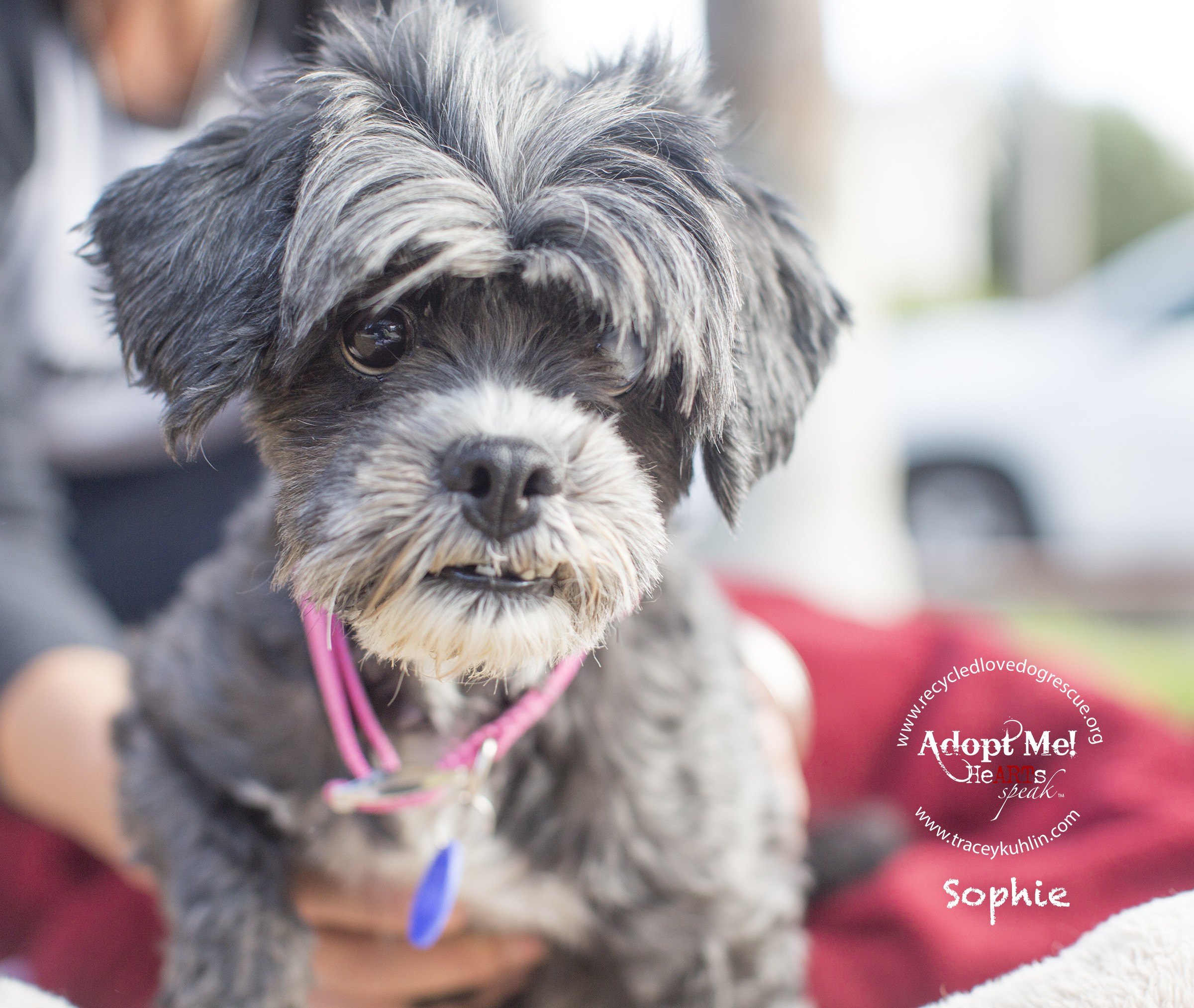Inland Empire Ca Shih Tzu Meet Sophie A Pet For Adoption