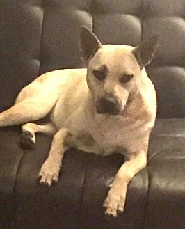 Australian Cattle Dog Mix Dog for adoption in Lithia, Florida - ROXY-15