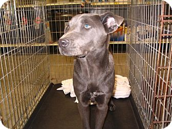 Weimaraner/Pit Bull Terrier Mix Dog for adoption in Melrose, Florida - Rosco