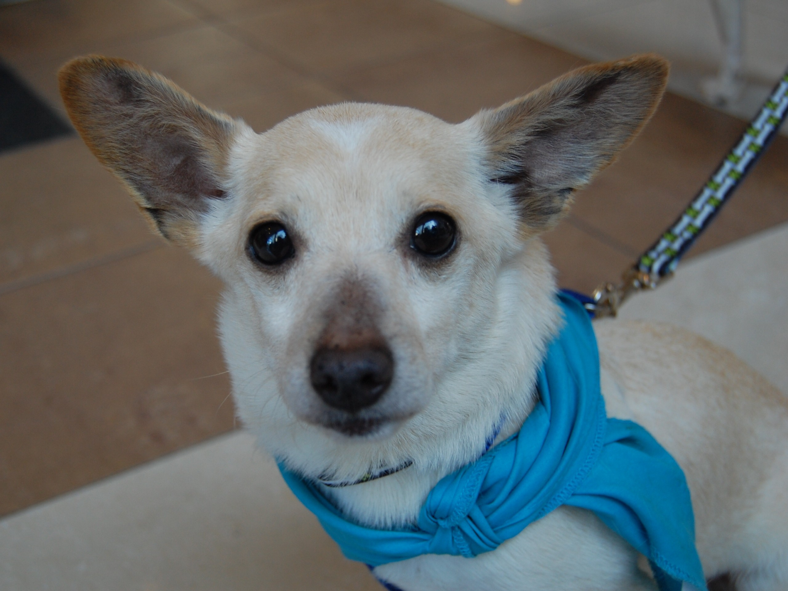 Charlotte, NC - Corgi. Meet Weasel a Dog for Adoption.