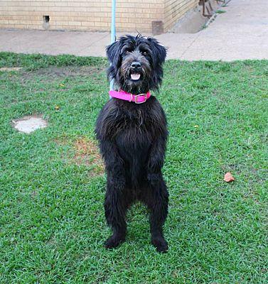Shreveport La Wheaten Terrier Meet Livia A Dog For Adoption