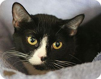 Domestic Shorthair Cat for adoption in Canoga Park, California - Kenya