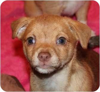 Plainfield Ct Rat Terrier Meet Binky A Dog For Adoption