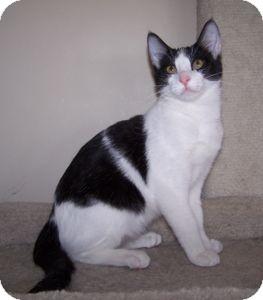 Domestic Shorthair Kitten for adoption in Colorado Springs, Colorado - K-Sitka4-Tika