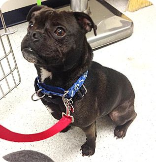 los angeles ca boston terrier meet pascal a dog for adoption