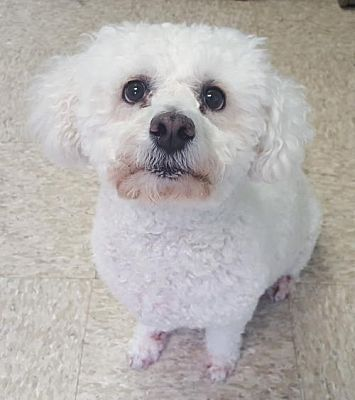 Bloomington Il Bichon Frise Meet Fiona A Pet For Adoption