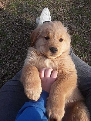 Nashua Nh Golden Retriever Meet Jake A Pet For Adoption