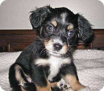 Encino Ca Miniature Pinscher Meet Daisy A Pet For Adoption