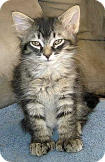Kansas City, MO - Maine Coon  Meet Mystic a Pet for Adoption