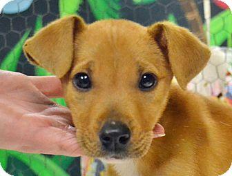 Labrador Retriever/Terrier (Unknown Type, Medium) Mix Puppy for adoption in Searcy, Arkansas - Nadia