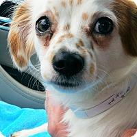 Adopt A Pet :: Punkin - Lebanon, CT