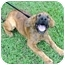 Photo 2 - Boxer/Jack Russell Terrier Mix Dog for adoption in Spring Valley, New York - Ruger