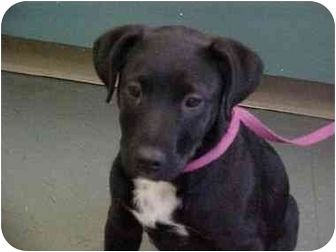Ephrata Pa Labrador Retriever Meet Lab Mix Boysgirls A Pet For