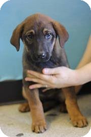 Shepherd (Unknown Type) Mix Puppy for adoption in East Hartford, Connecticut - Tara 1 IN ct