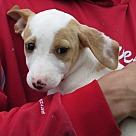 Adopt A Pet :: Italian Greyhound/Lab pups M
