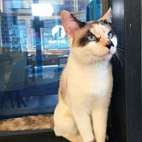 Adopt A Pet :: Parker (Siamese Calico) - St. Louis, MO