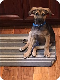 German Shepherd Dog Mix Puppy for adoption in Pompton Lakes, New Jersey - Shep pup