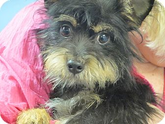 Yorkie, Yorkshire Terrier/Schnauzer (Miniature) Mix Dog for adoption in Allentown, Pennsylvania - Tye